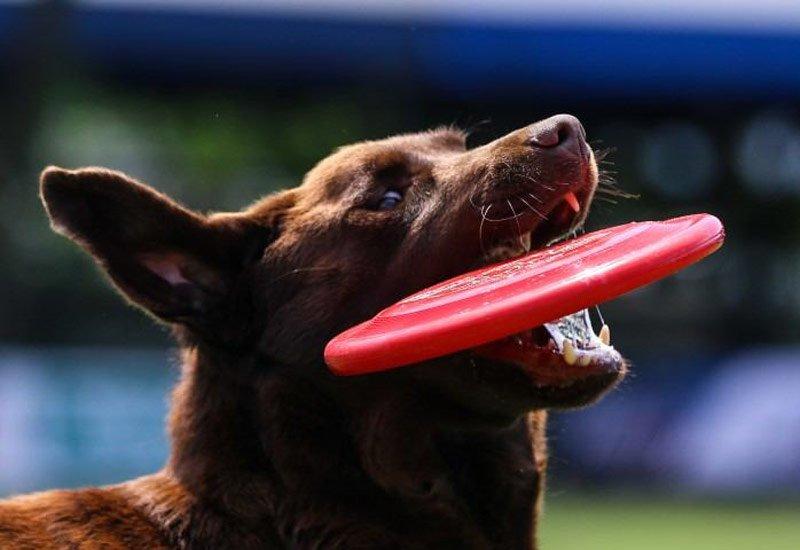 Disc Dog Challenge